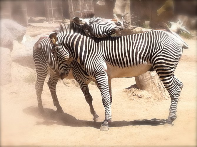 Zebra love....at the San Diego Zoo