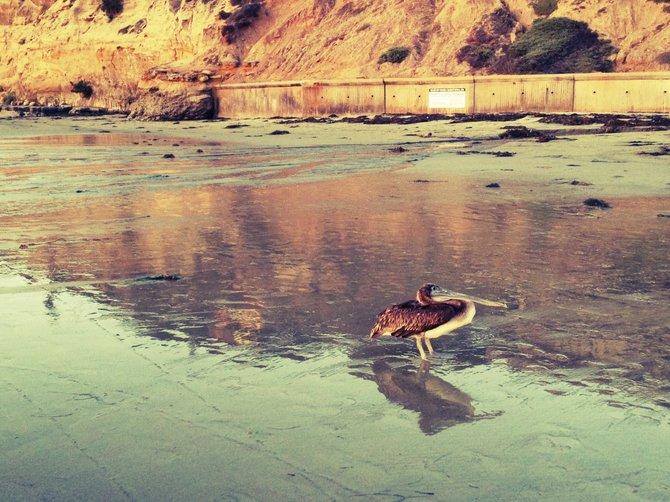 Pelican sighting at beautiful La Jolla Shores Beach!