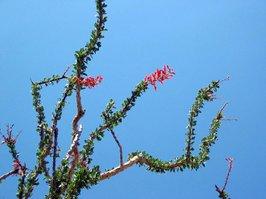 http://www.anzaborrego.net/travel/anzaborrego/flowers/closeups/Large_IMG_1378.jpg