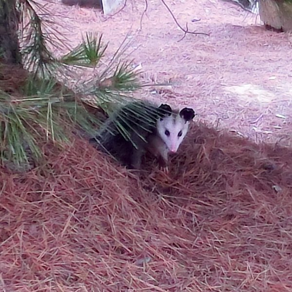 """Brer Possum"" says hello from Mission Trails.  End of Clairmont Mesa Blvd. in Tierrasanta.  Taken July 7, 2012."