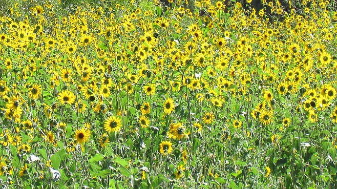 A view of wild sunflowers from the road in southwestern N.M.