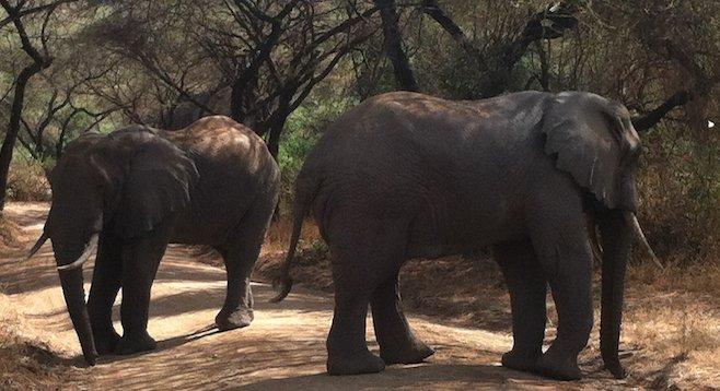 Up close and personal with elephants on a Lake Manyara, Tanzania, safari.