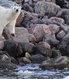 Polar bear along Icy Straight, Nunavut Canada August 2012. Yes we were that close, but ...