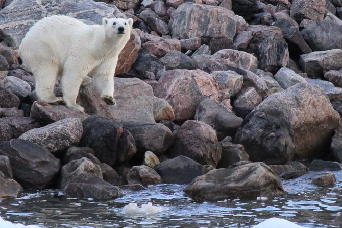 Polar bear along Icy Straight, Nunavut Canada August 2012.  Yes we were that close, but in a boat and on the move.
