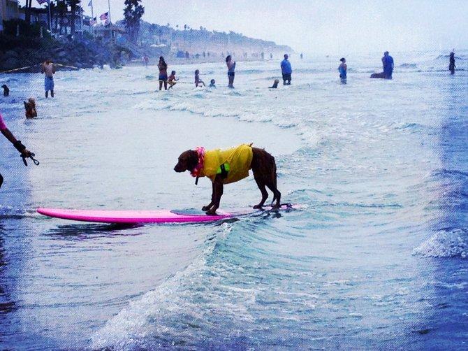 Cuteness at the Surf Dog Surf-A-Thon at Del Mar Dog Beach, September 9, 2012