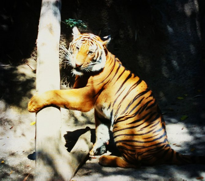 Tiger posting the amazing San Diego Zoo