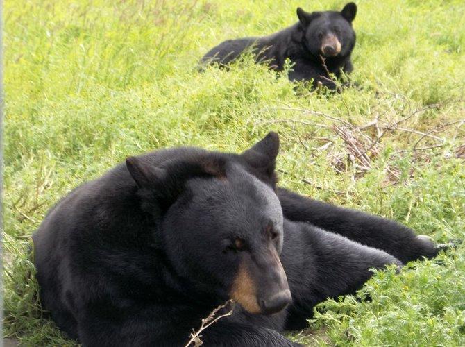 Black bears at the Alaska Wildlife Conservation Center