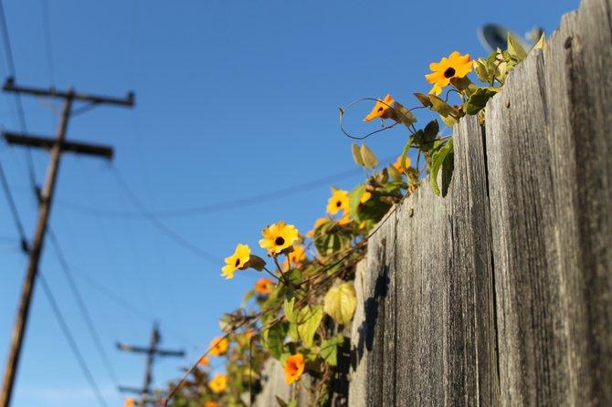 Flowers growing on a neighborhood fence.