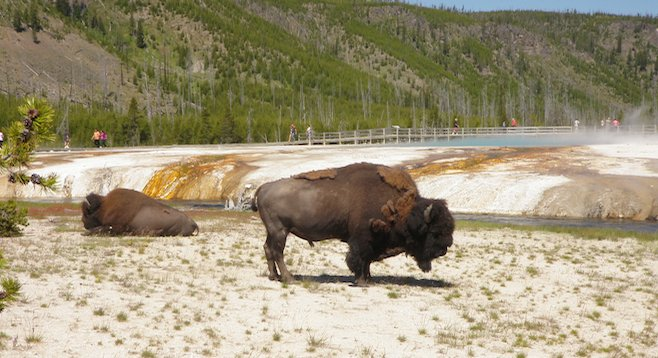 The park's ubiquitous bison.