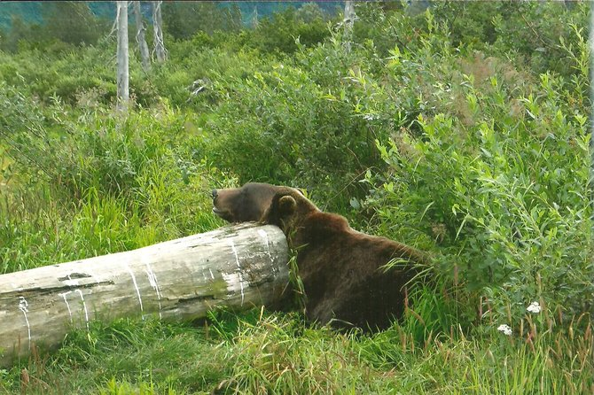 Ssshhhh. Sleeping grizzly. Alaska Wildlife Conservation Center