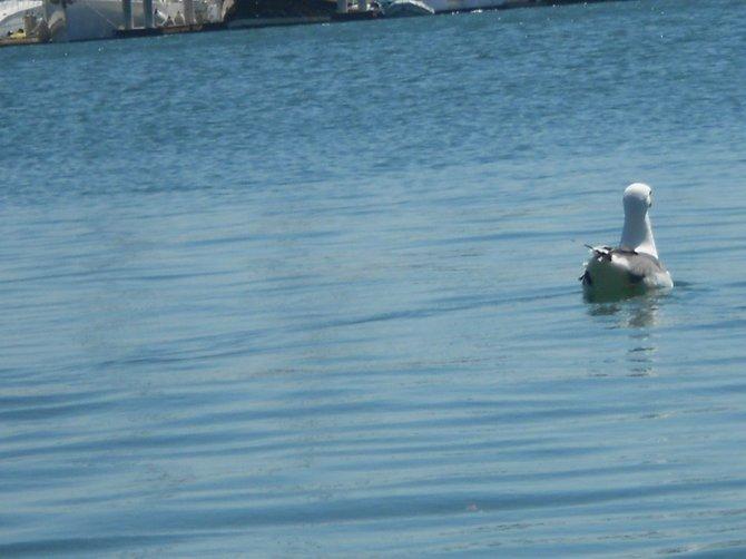 Sea gull cruising along in San Diego Bay.