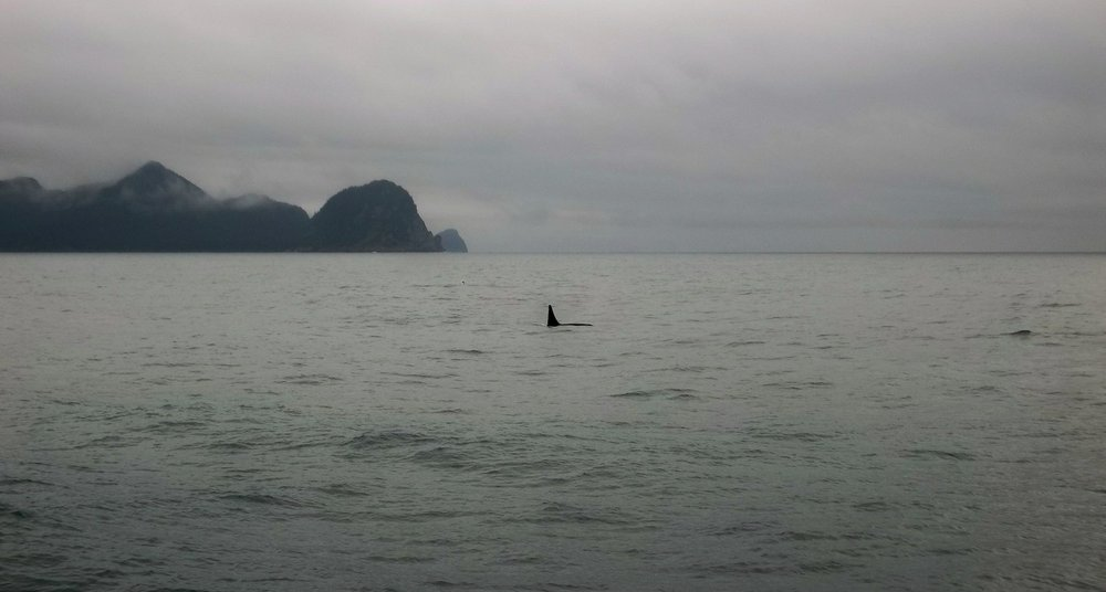 Orca fin from the cruise ship in Resurrection Bay.