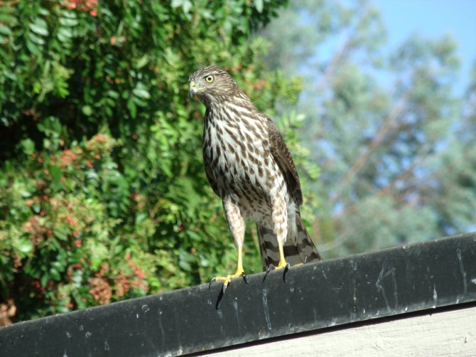 Cooper's Hawk often visits the garden with all the bird feeders.
