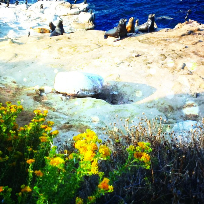 Adorable sea lions playing at La Jolla Cove