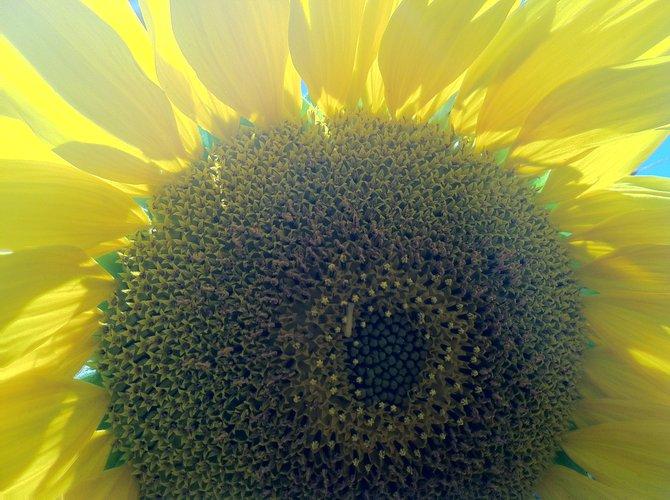 Field of Flowers Kensington