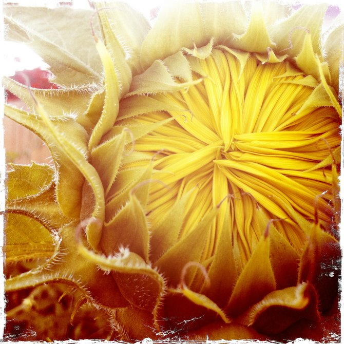 -Waking Sunflower-
