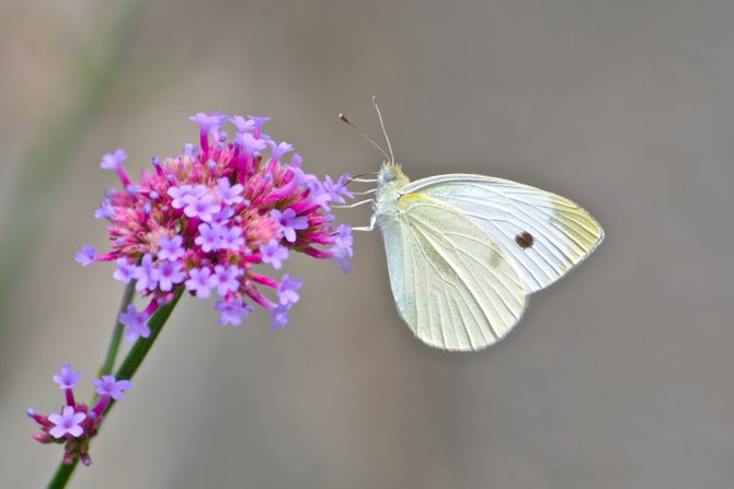 Wave Hill in New York is an amazing place to observe wildlife. Such as this Butterfly.