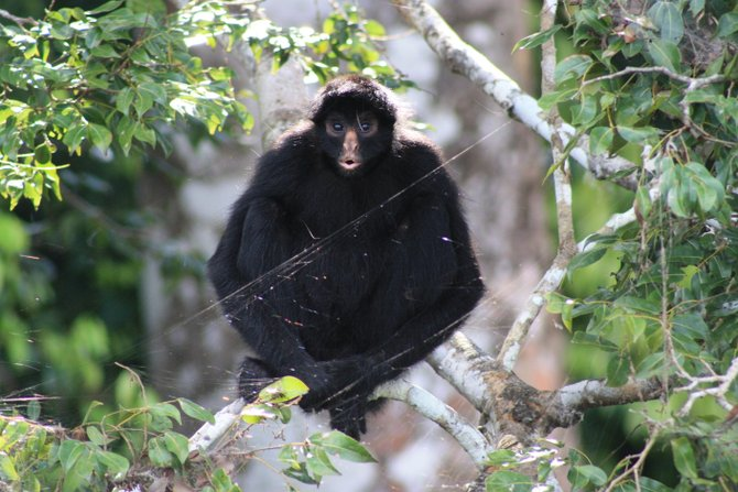 A Spider Monkey 'Hello'! Puerto Maldonado, Peru May 2012 -Andria Califf