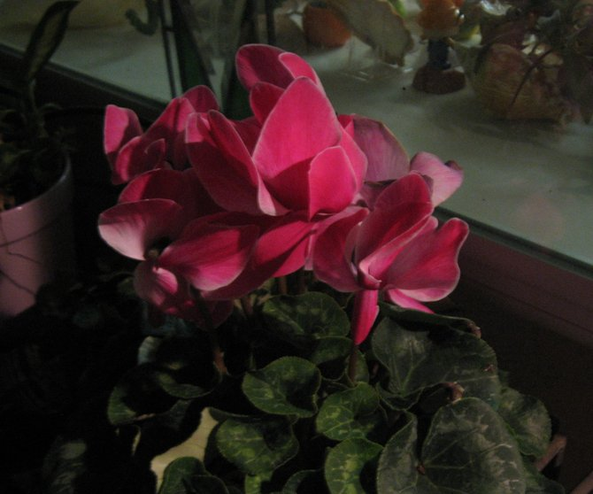 Cyclamen in bloom, Oceanside