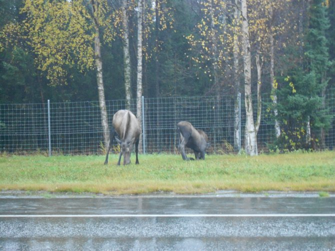 Mother & youngster moose along the side of the road in Anchorage, Alaska--October 2012.