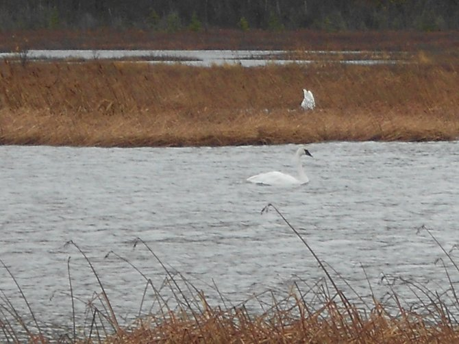 A swan in the Nature refuge along the Seward Highway outside Anchorage, Alaska.