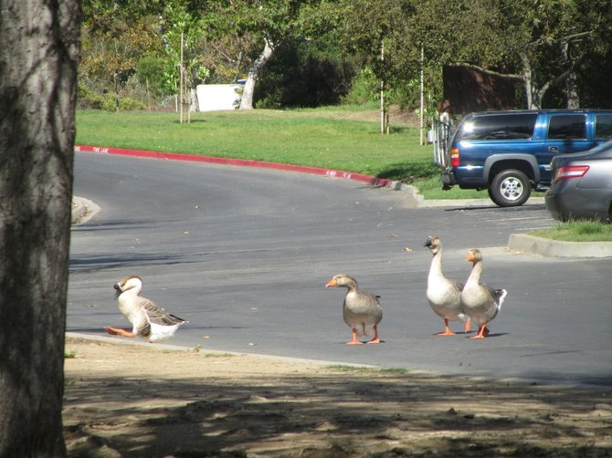 """Hey, What You Doin' There???"" by: iolanda Scripca with the ""Gooses"" in Vista :)"
