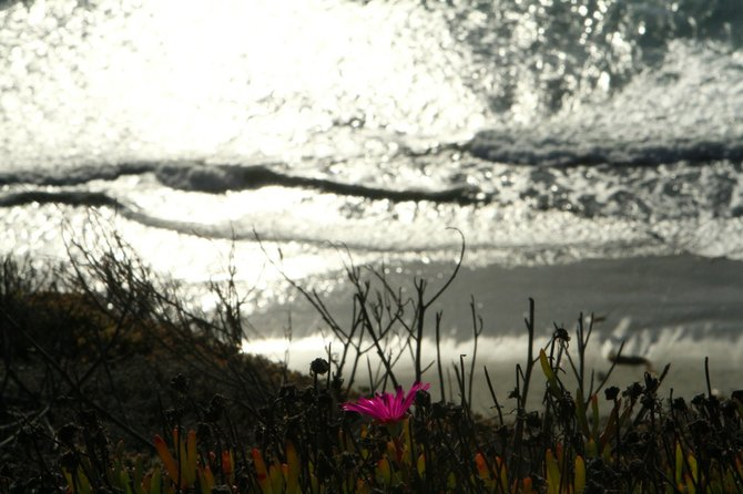 Last Flower of Summer.    Solana Beach Bluff    October 10, 2012