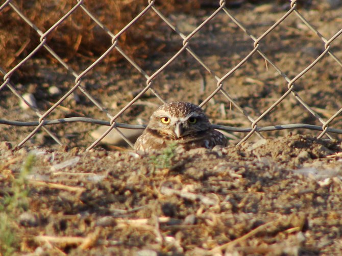 Otay: Burrowing Owl