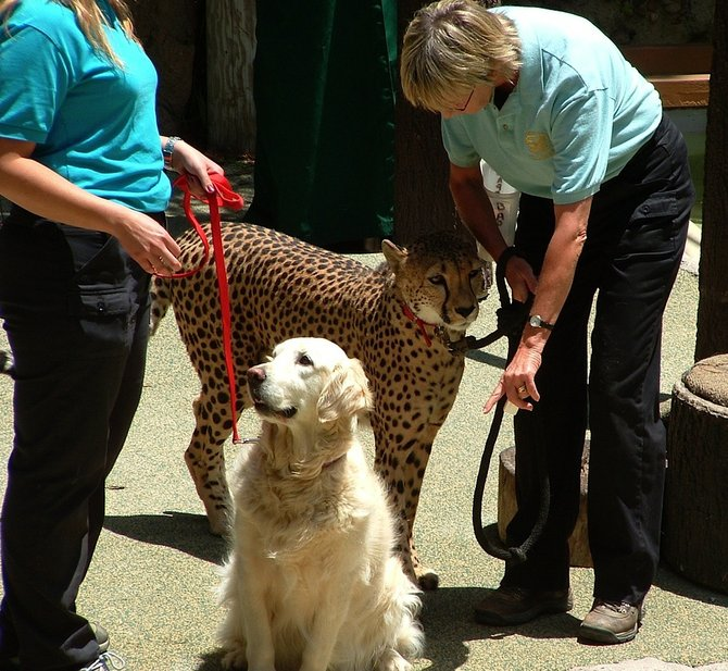 A Cheetah at the San Diego Zoo (with his best friend!)