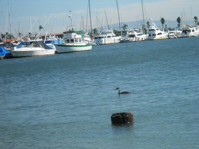 Cute little water bird near Southwestern Yacht Club in Pt. Loma.