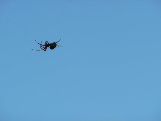 Spider Upside Down in Blue