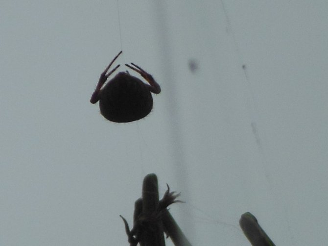 Eerie Backyard Spider (Bonita)
