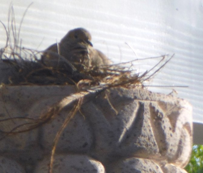 bird in her nest in my backyard (Bonita)