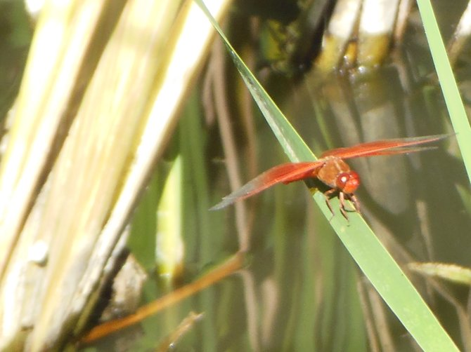 Dragonfly on a Plant's Limb (Morrison Pond - Bonita)