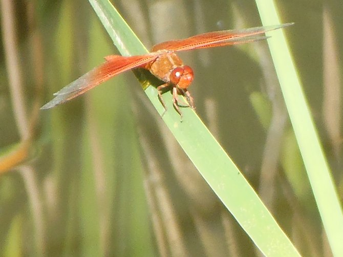 Dragonfly on a Plant's Limb Up Close (Morrison Pond - Bonita)