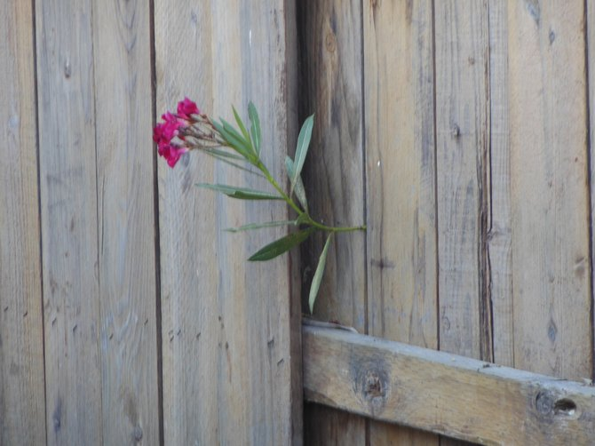 Flower Through the Fence