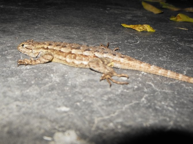 Alligator Lizard in my Backyard at Night (Bonita)