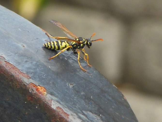 Wasp about to Alight from my Weight Set (Bonita)