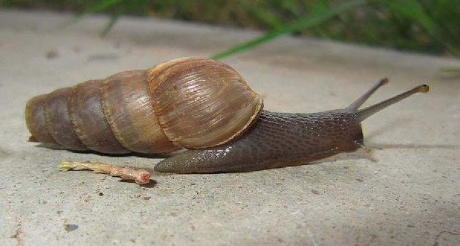 Decollate snail