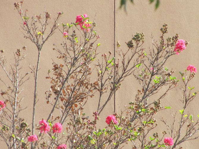 """Pink Hope"" Withered leaves revive in Carlsbad and in life...even in October ...by: iolanda scripca"