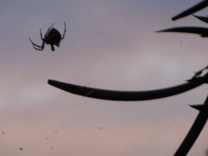 Spider in Violet Sky (Bonita - from my backyard)