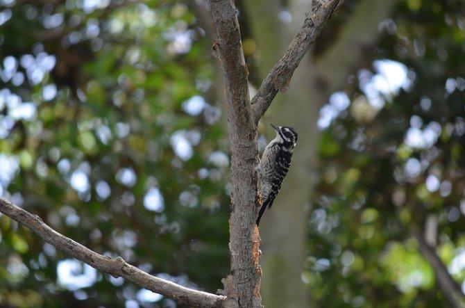 Woodpecker bird in my front yard in Ocean Beach.