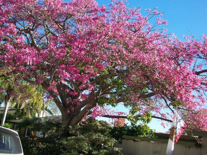 Colorful tree on La Cresta in Pt. Loma.