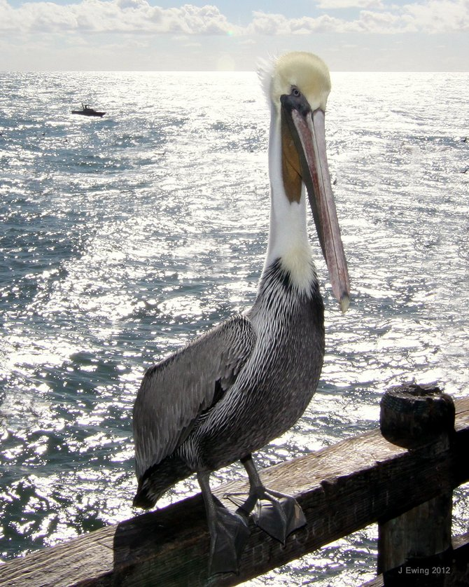 This California Pelican is on the Oceanside Pier