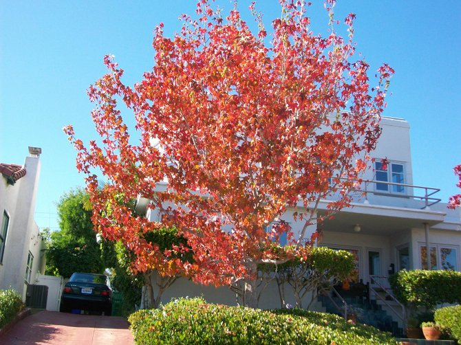 Colorful fall tree in Point Loma, off Chatsworth Blvd.