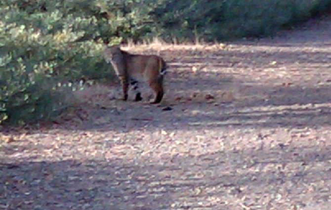 Walking a south Poway trail I surprised this cat. Then I saw that it was not a house cat. Bobcat? I only had my phone camera. This was the second picture. Cat started away, I made some clucking sounds and the cat stopped to look and took a third photo.