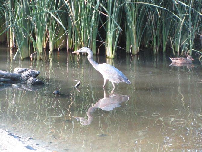 """Egret at the Pond in Vista, CA"" by: iolanda scripca"