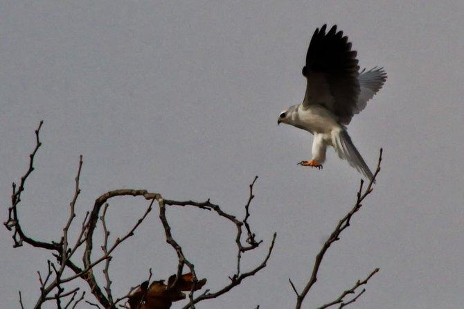 White-tailed Kite, Los Peñasquitos Canyon Preserve, 11/29/2012.