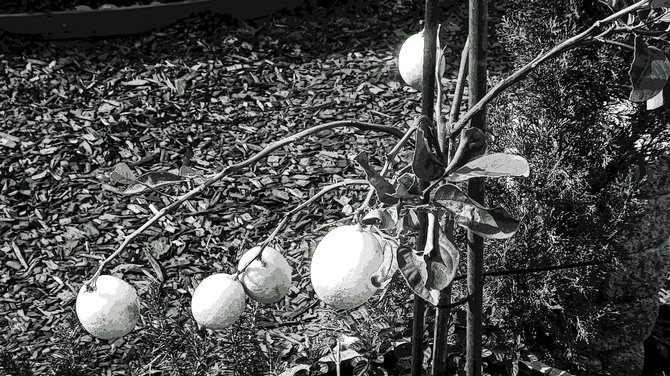 Lemons growing on a tree in a North Park yard. Shot in b&w, then Photoshopped with poster edges effect.