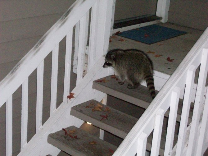 A little late to be trick or treating here, Mr. Raccoon..in Ocean Beach.